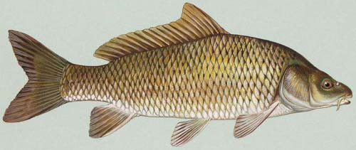 Source: http://en.wikipedia.org/wiki/Image:Common_carp.jpg Common carp (Cyprinus carpio). Public domain image from USFWS National Image Library.