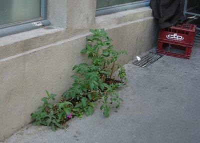 Micro implantation florale, Lyon, Pentes de la Croix-Rousse